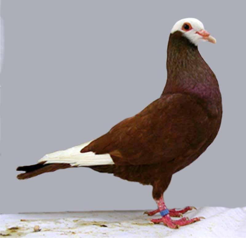 White Dove Vs Grey Dove Paint