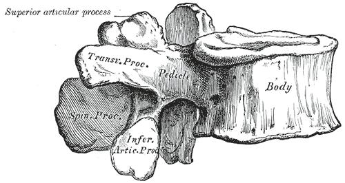 Lendenwirbel von der Seite mit Gelenkfortsätzen