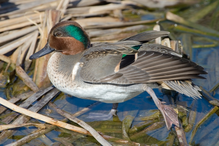 https://upload.wikimedia.org/wikipedia/commons/0/07/Green-winged_Teal%2C_Port_Aransas%2C_Texas.jpg