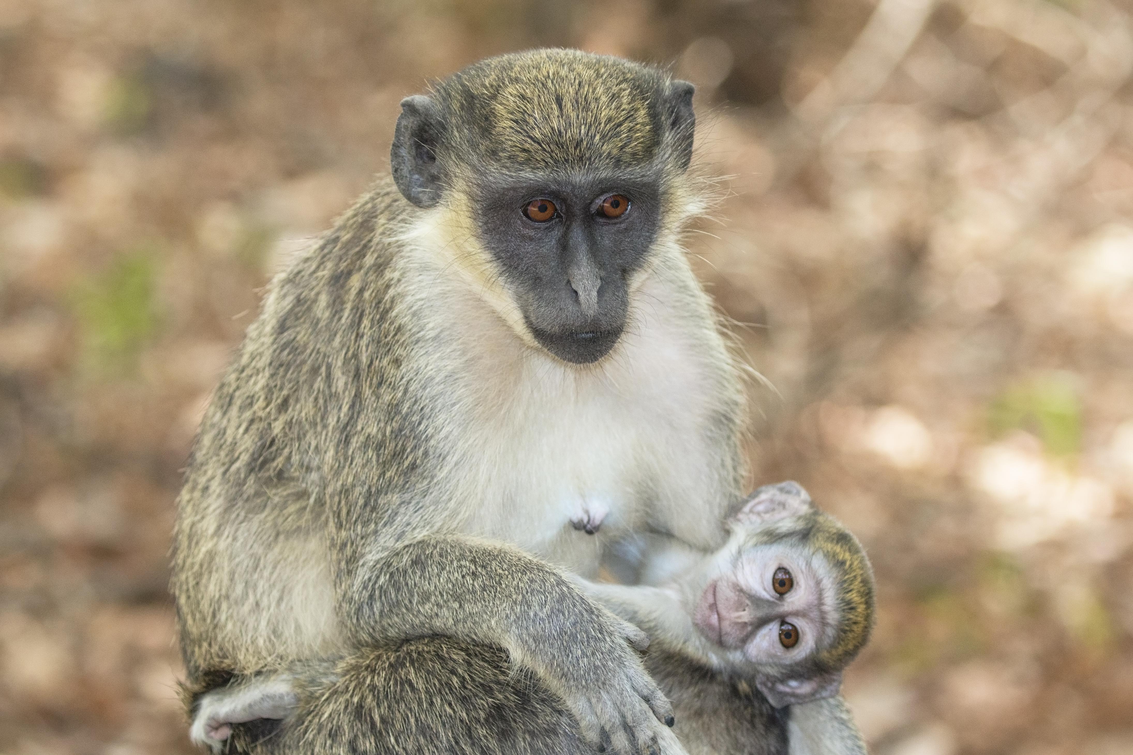 How Do Monkeys Eat Their Food