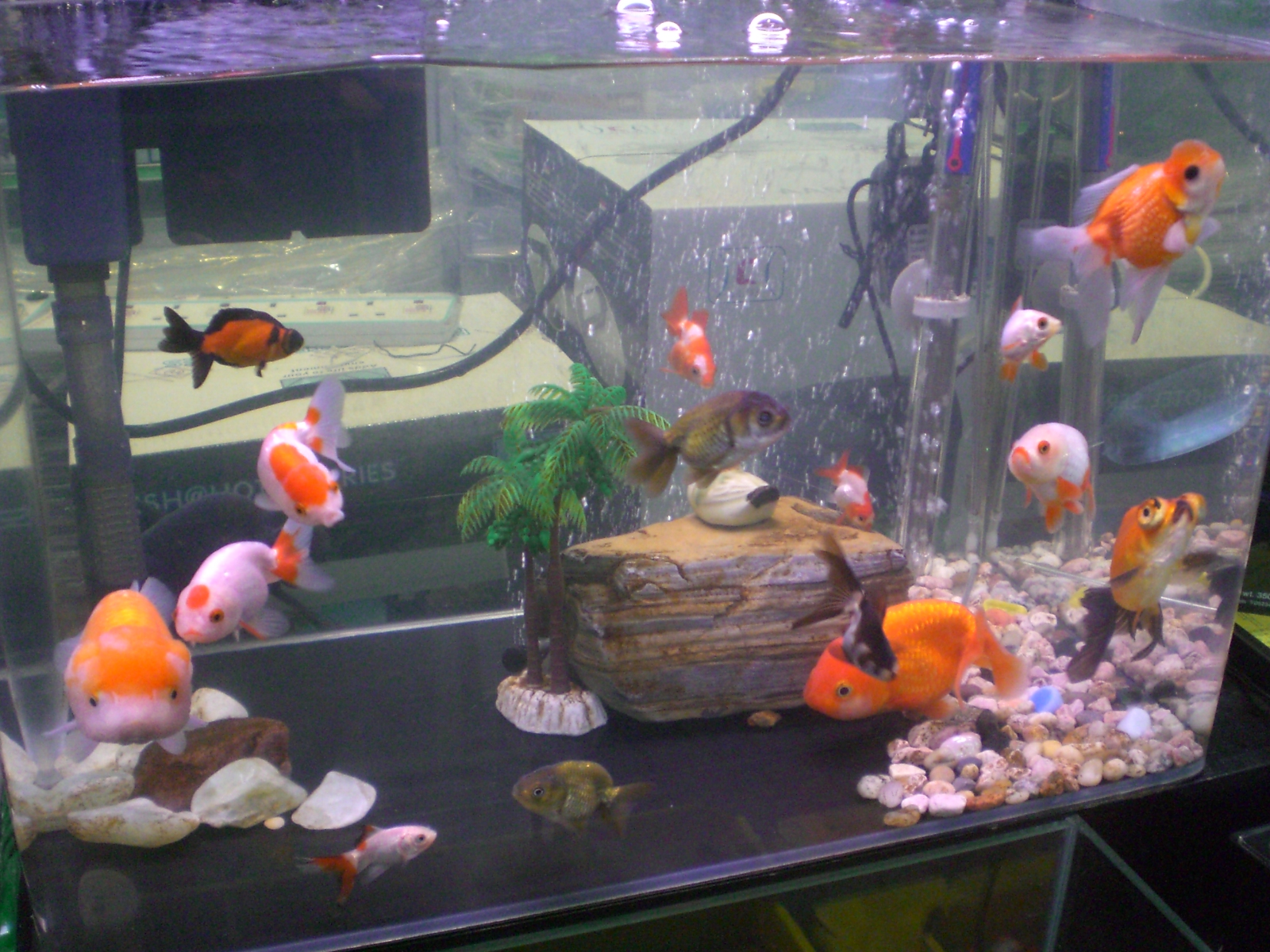 Goldfish types for aquariums for Fish tank for goldfish