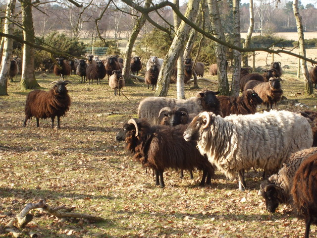 Hebridean Sheep on Scotton Common Nature Reserve - geograph.org.uk - 1757372