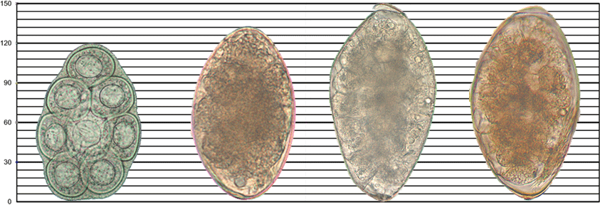 File:Helminth egg sizes 2.png - Wikimedia Commons