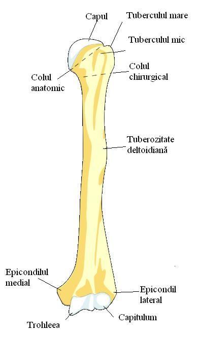 Left Humeral Head Bone Island