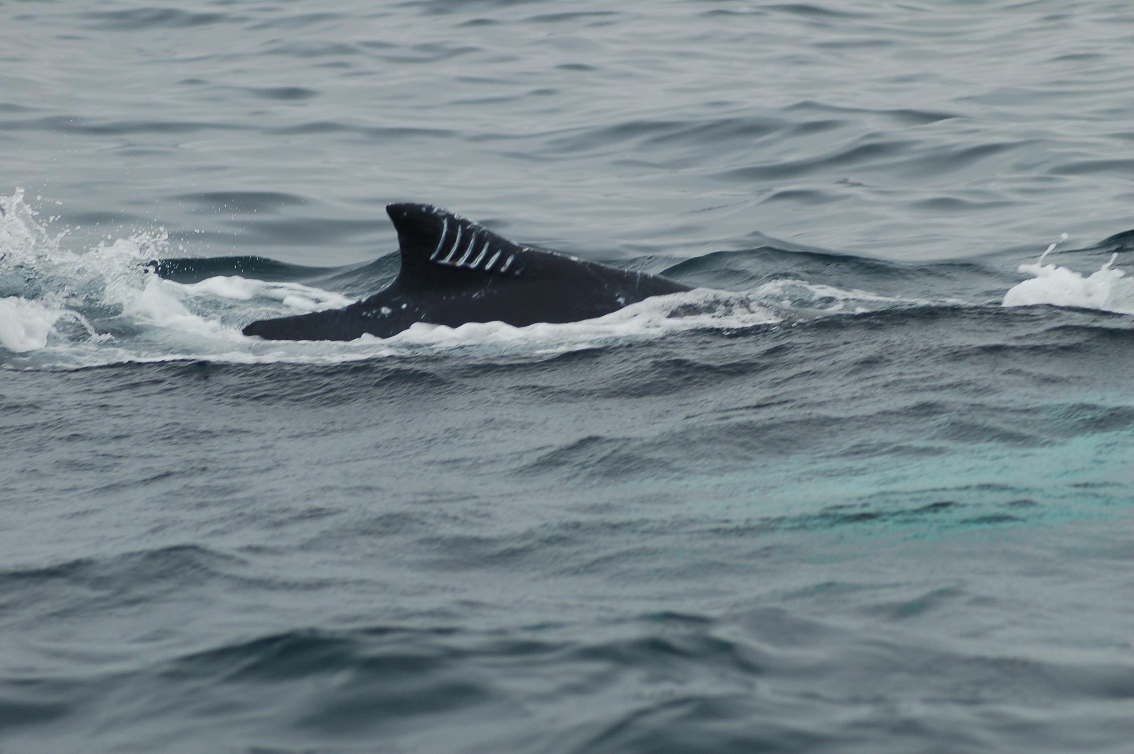 Description Humpback with Orca bite jpgOrca Bite
