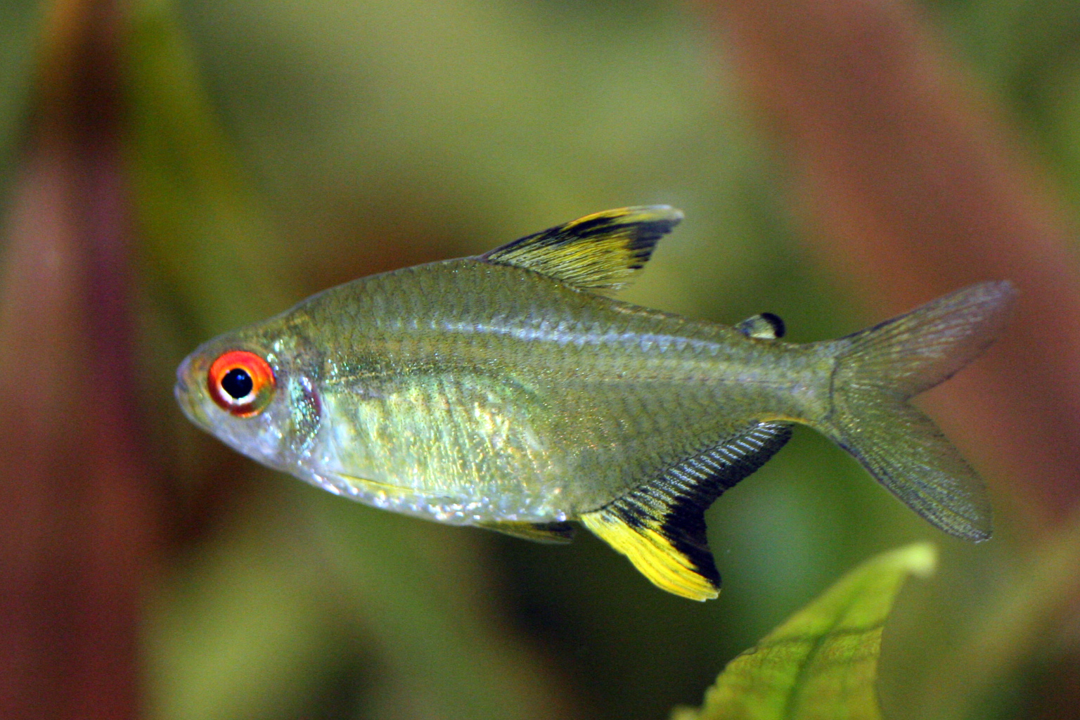 How to keep appropriate aquarium chemistry for lemon tetra for Types of tetra fish