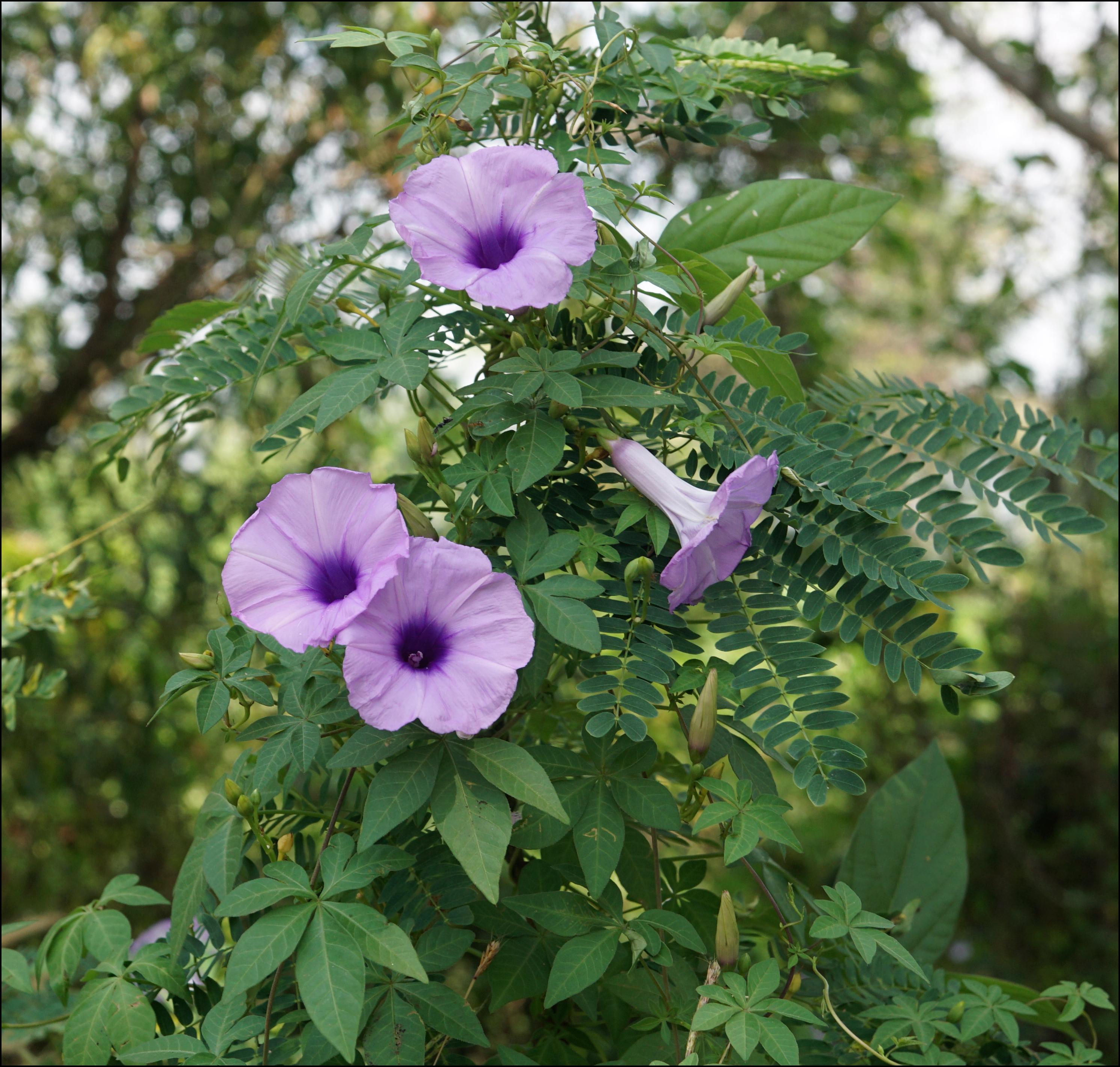 Ipomoea palmata plant