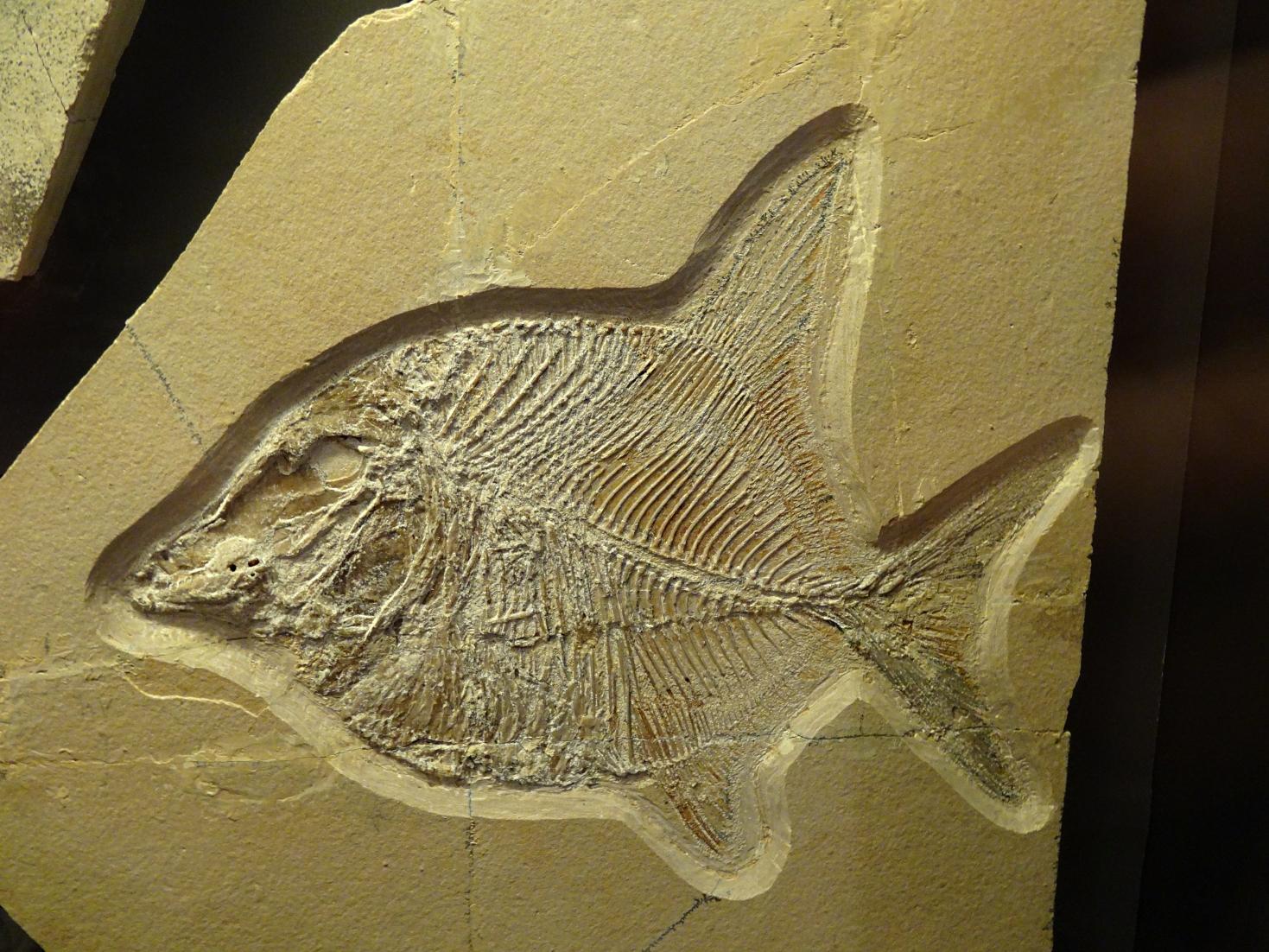 Datei:Knochenfisch Proscinets sp jpg – Wikipedia