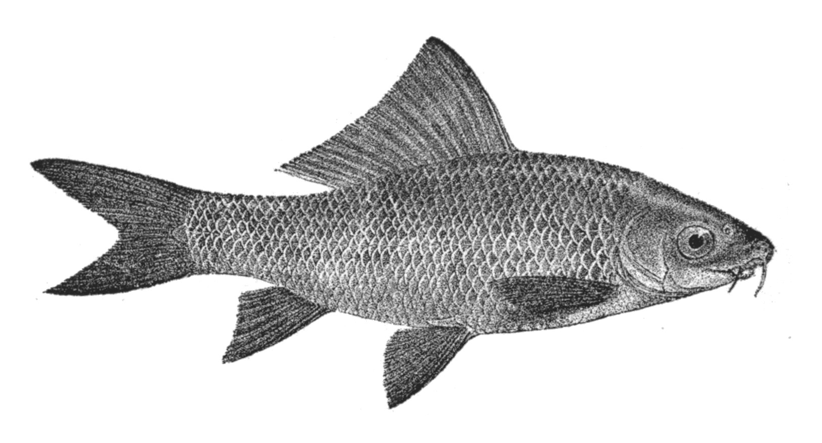 length weight relationship of labeo rohita fish photo