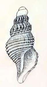 <i>Leucosyrinx eremita</i> Species of gastropod