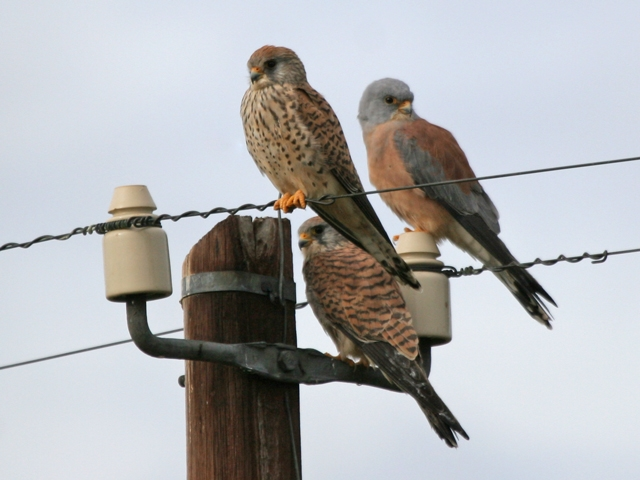 Ficheiro:Male and female Lesser Kestrels.jpg