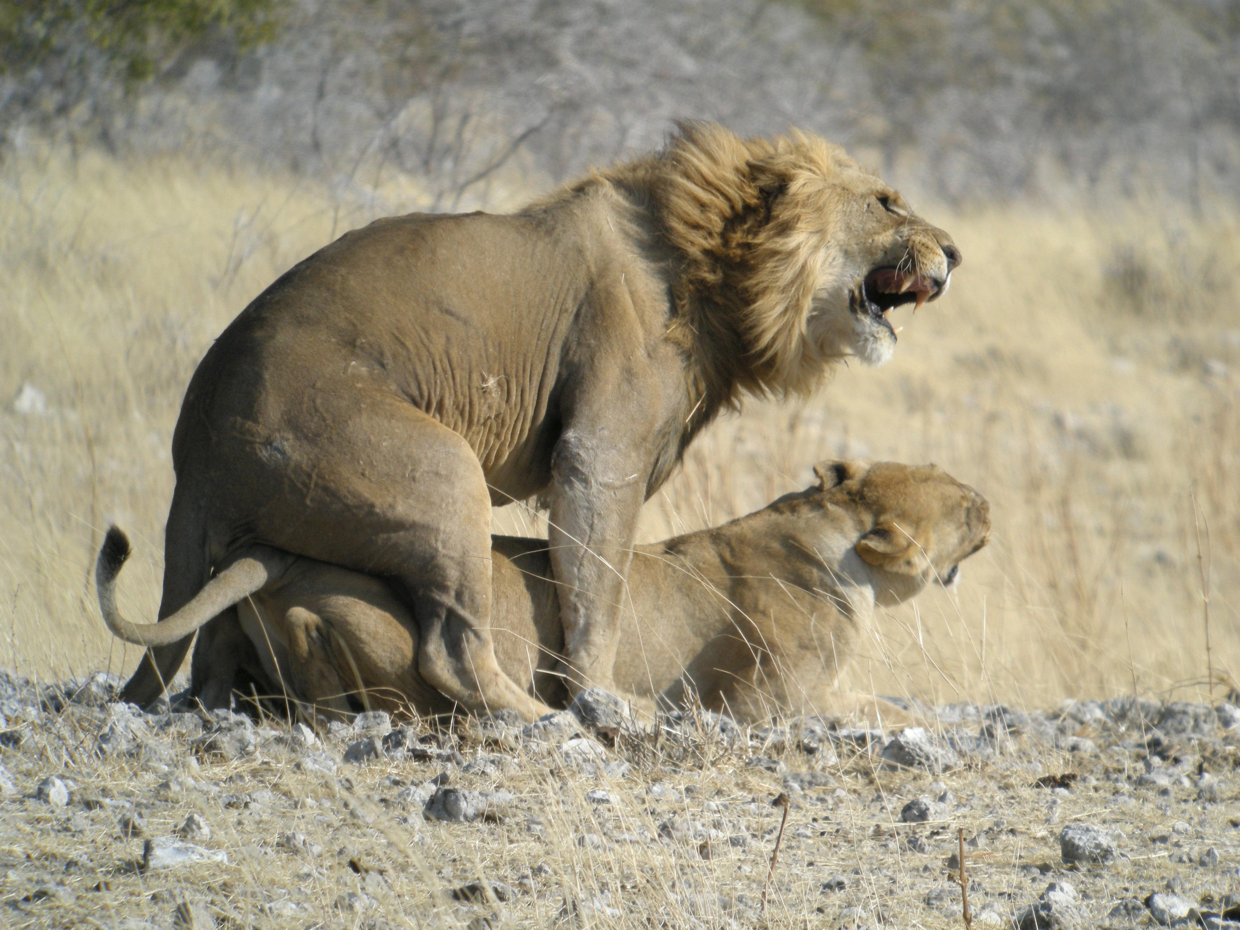 Fichier:Mating Lion, Etosha National Park, Namibia.jpg ...