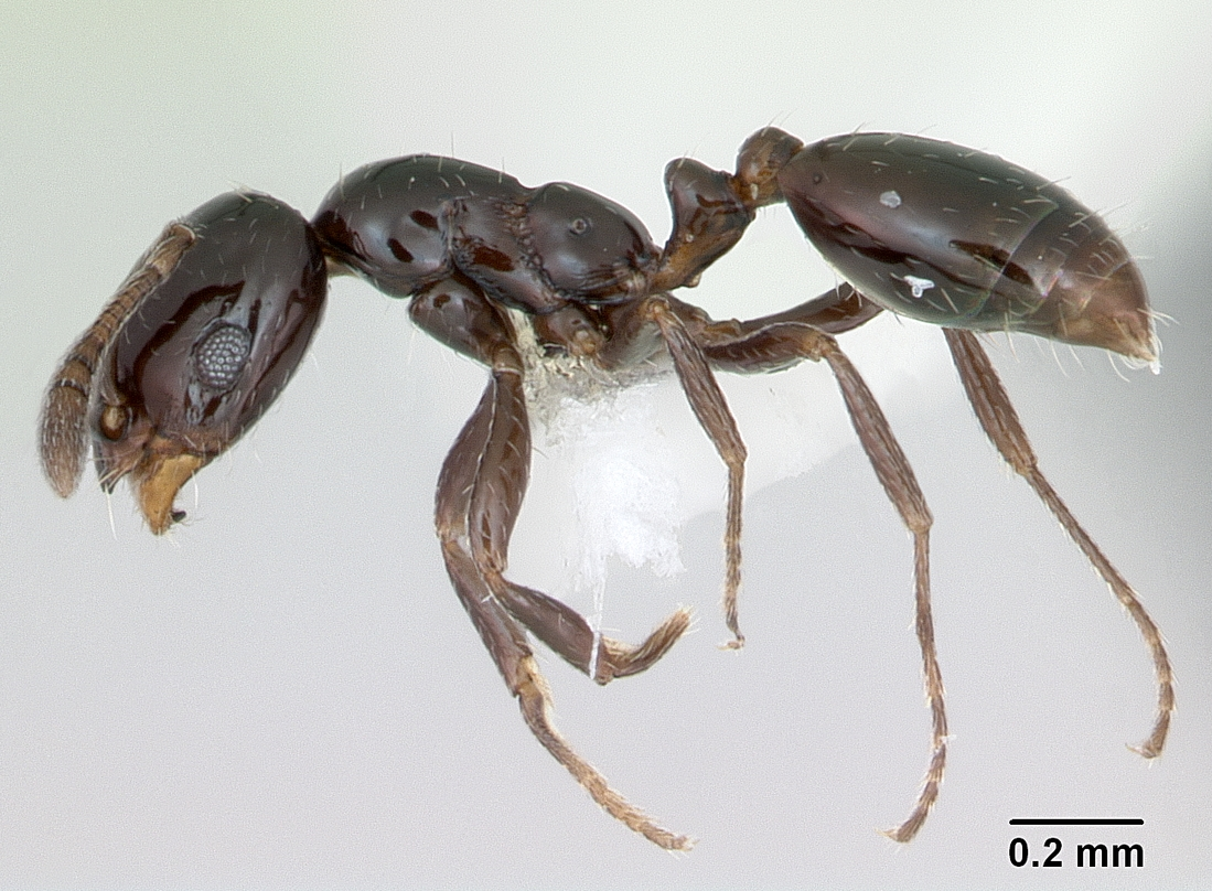 Little black ant - Wikipedia