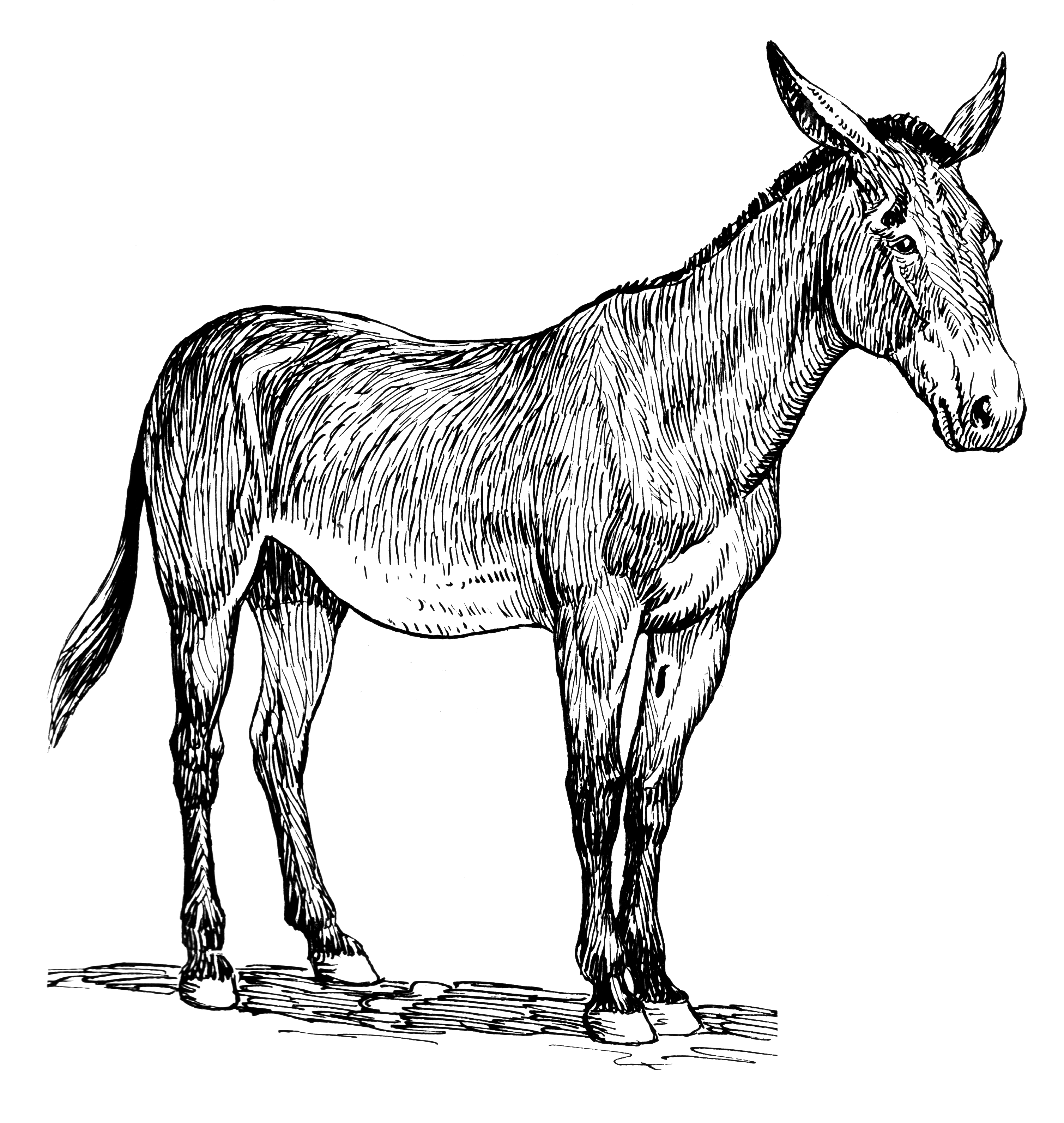 Line Drawing Donkey : File mule psf wikimedia commons
