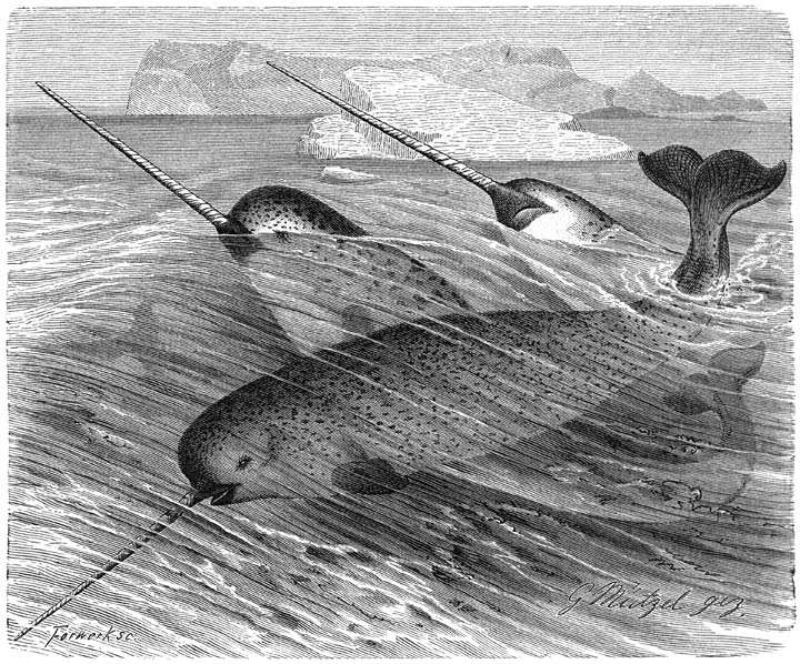 An image of narwhals, sometimes called sea unicorns.