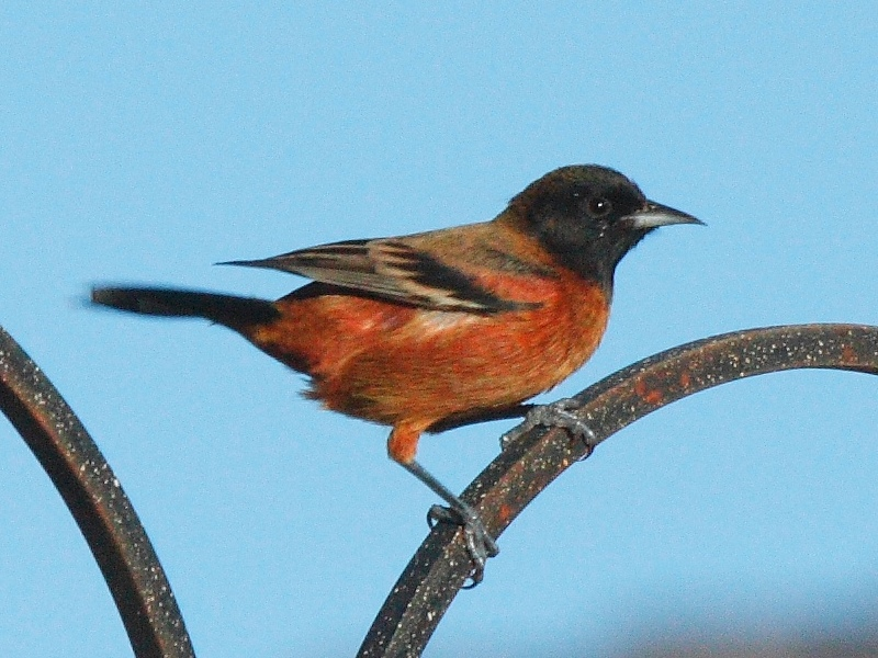 File:Orchard Oriole.jpg