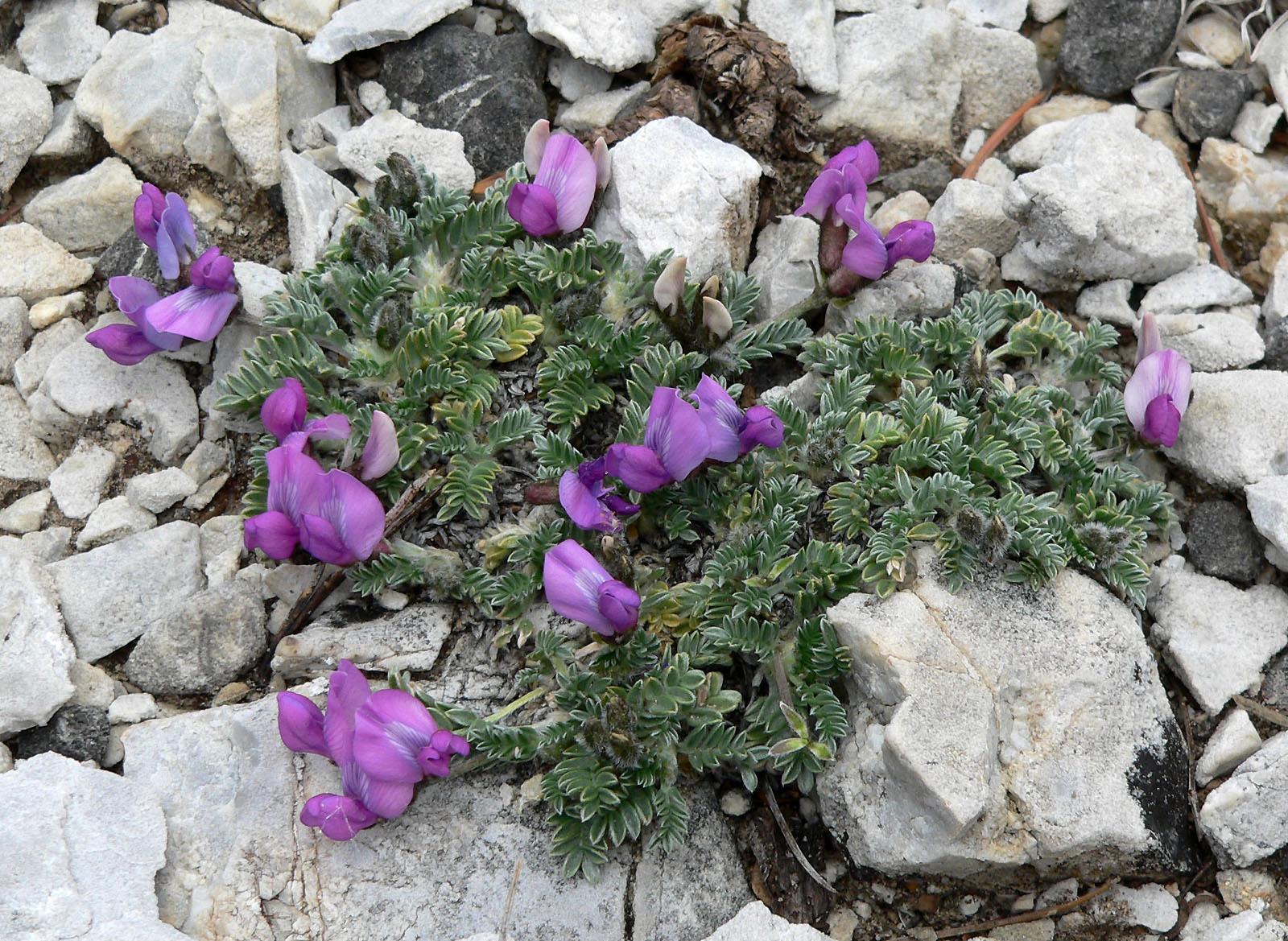 Online Virtual Flora of Wisconsin - Oxytropis campestris var ...