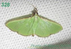 <i>Parotis</i> Genus of moths