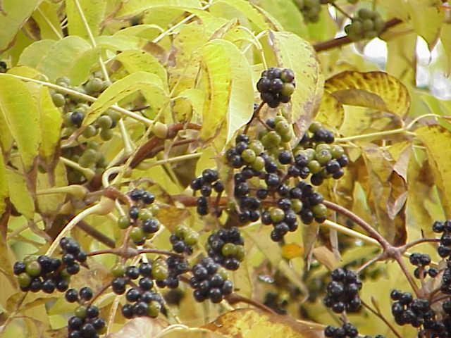 en automne les feuilles et les fruits du phellodendron