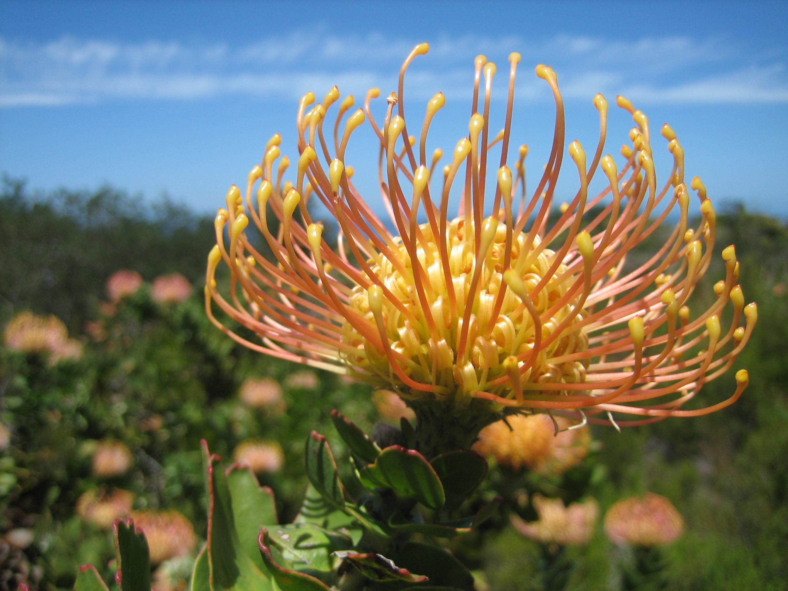 Pincushion Protea File:Pincushion protea...