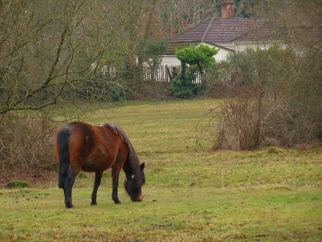 Pony grazing, Burley Lawn, New Forest - geograph.org.uk - 634115