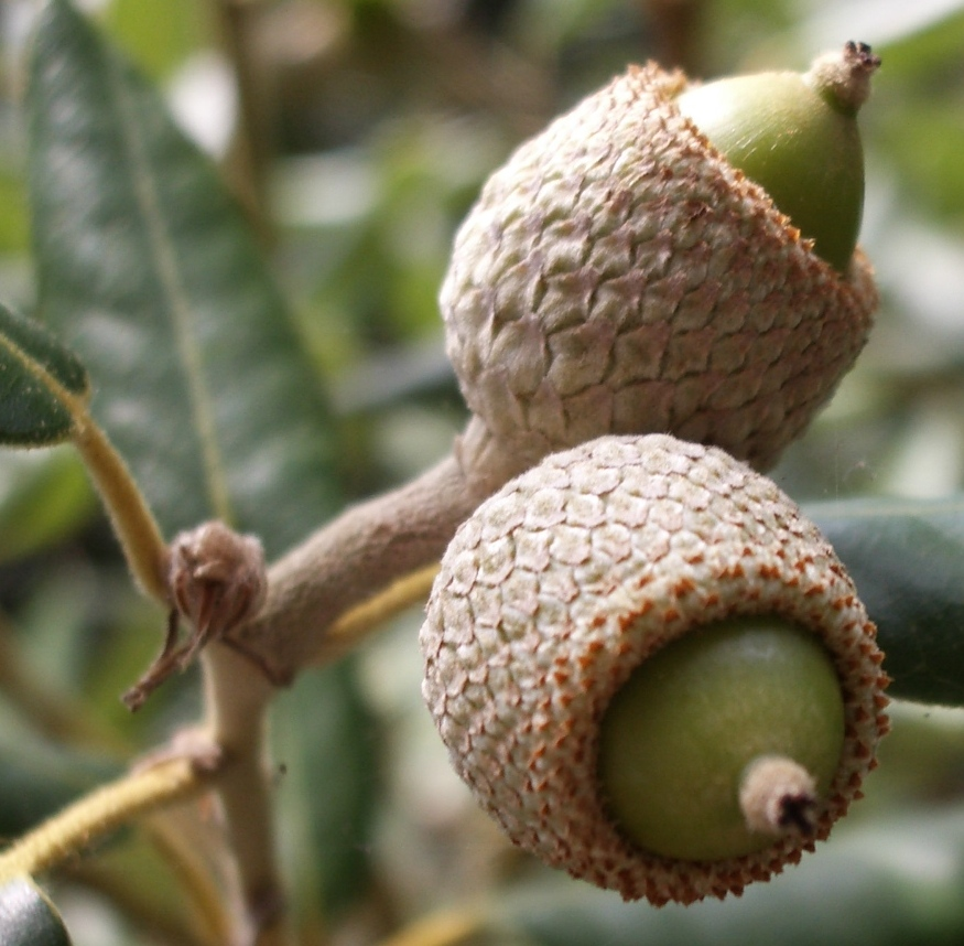 Quercus ilex2.jpg