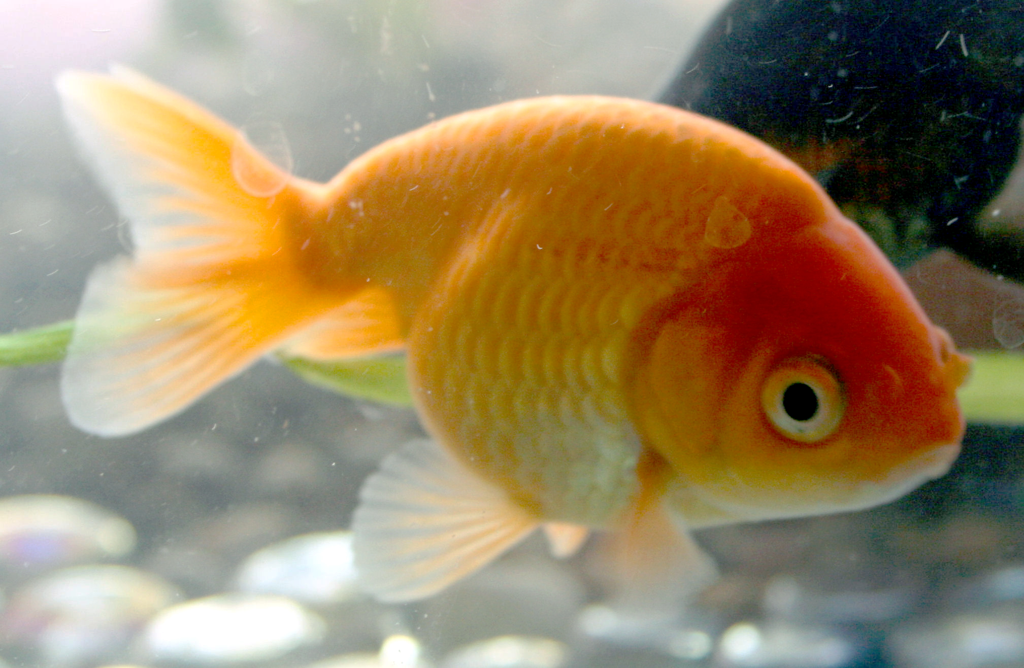 Image gallery ranchu for Koi goldfish for sale