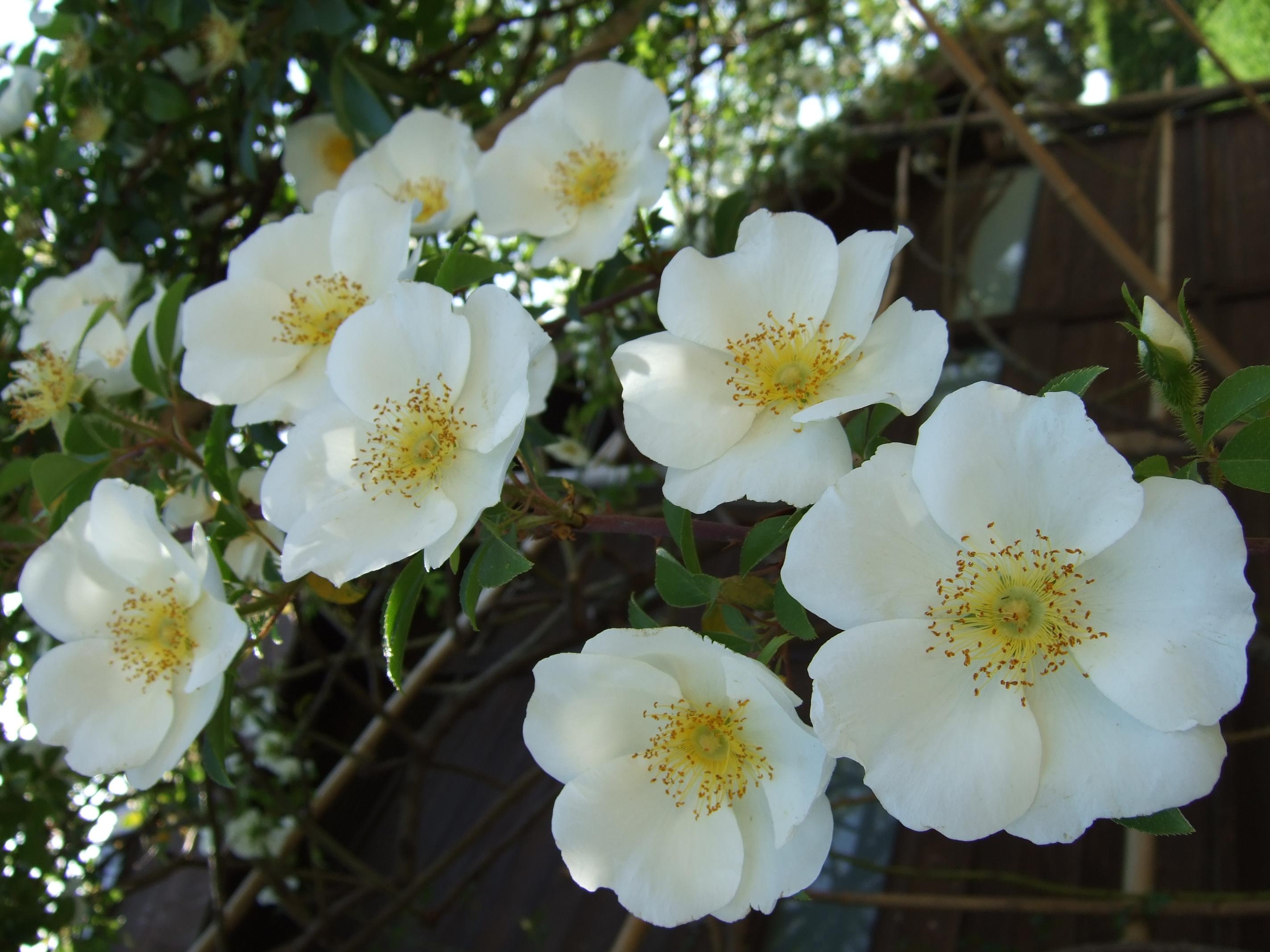 File rosa laevigata flowers jpg wikimedia commons for Cherokee rose