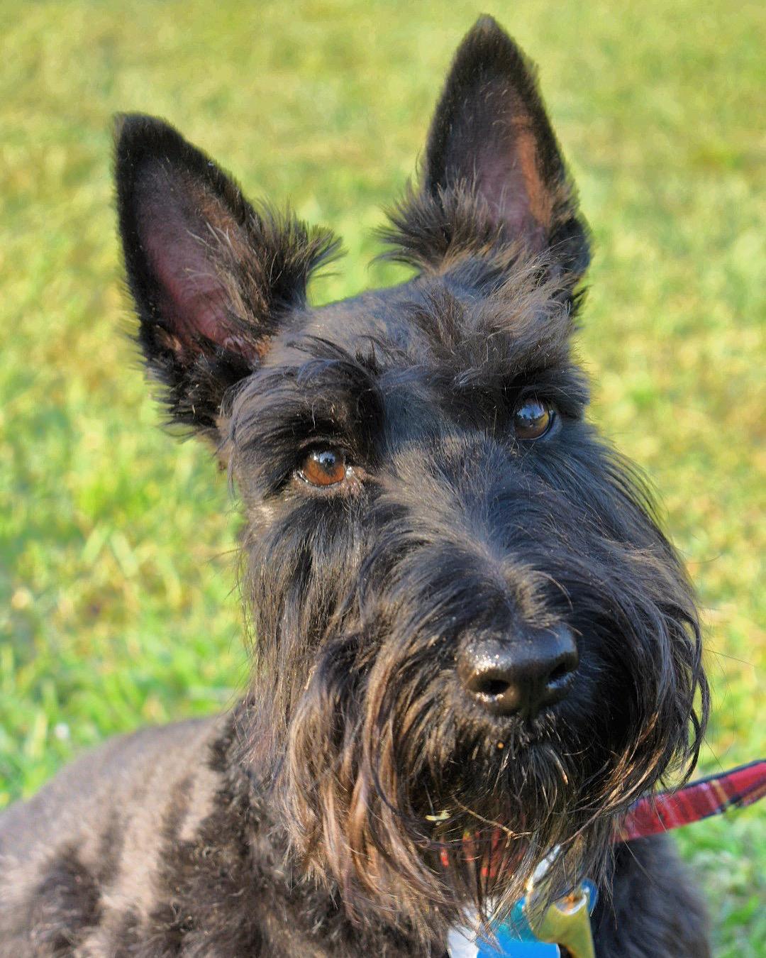 Scottish Terrier Wikiwand