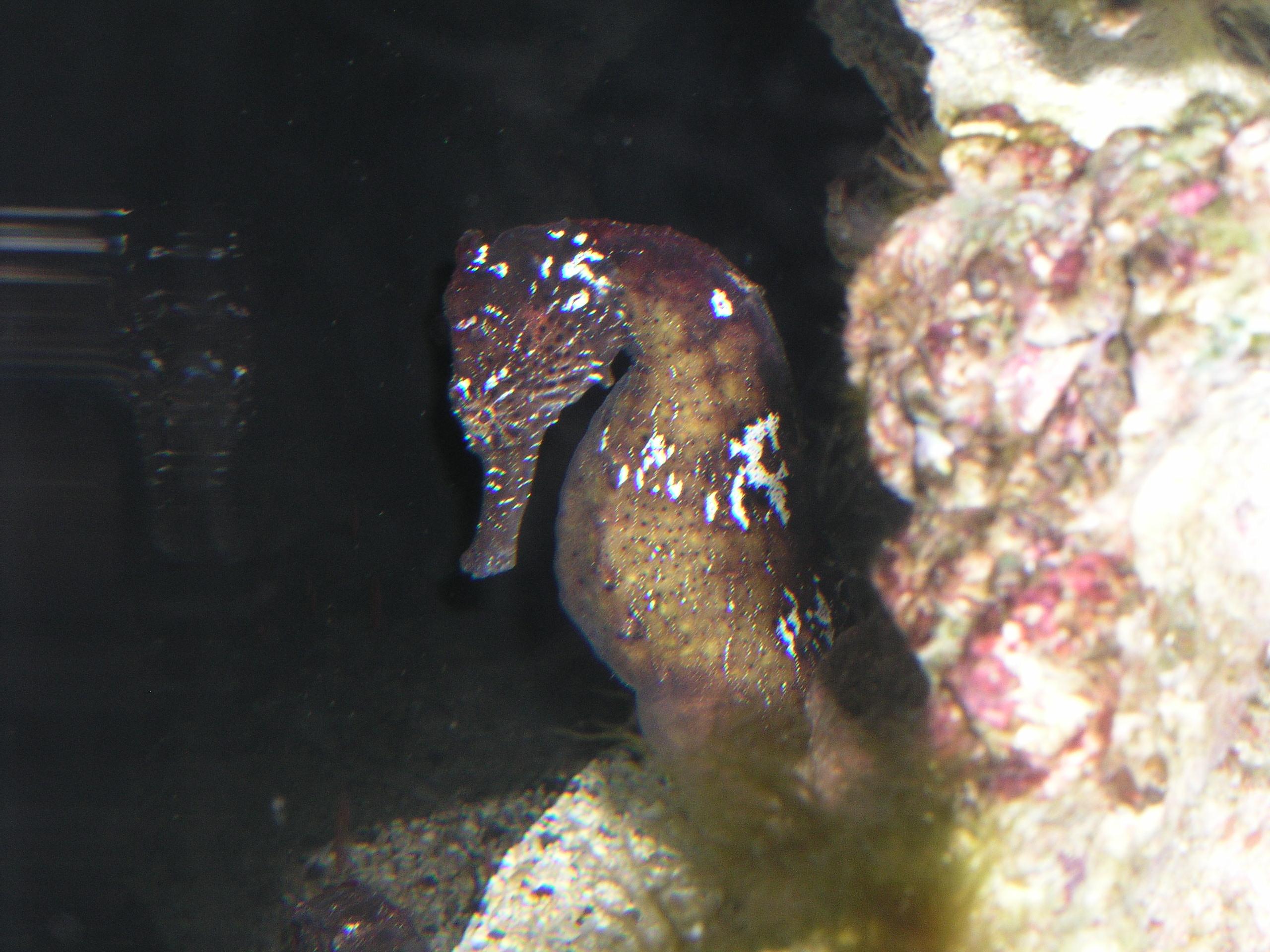 Hippocampus Kuda Wikipedia