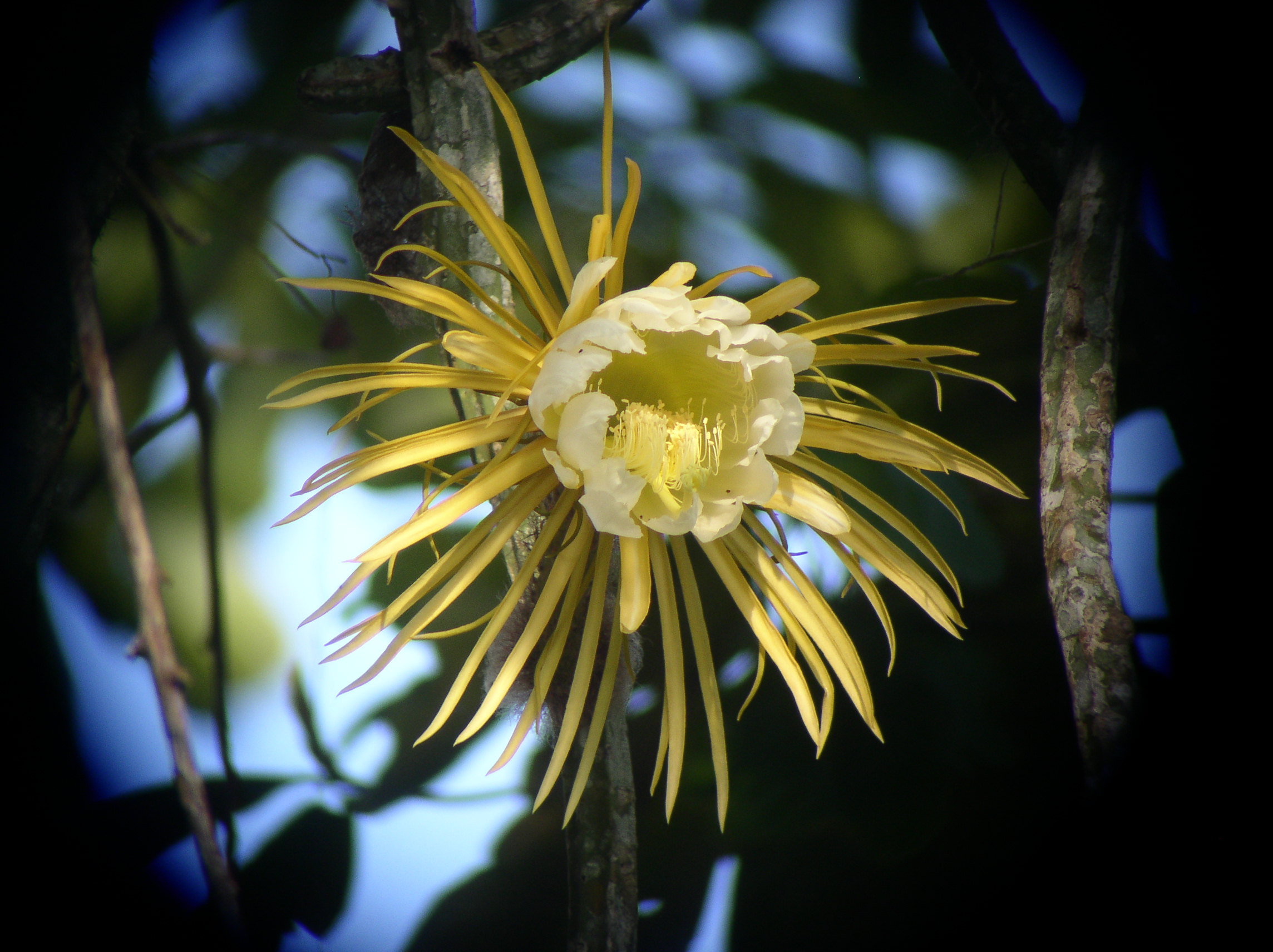 nattens ljus blomma