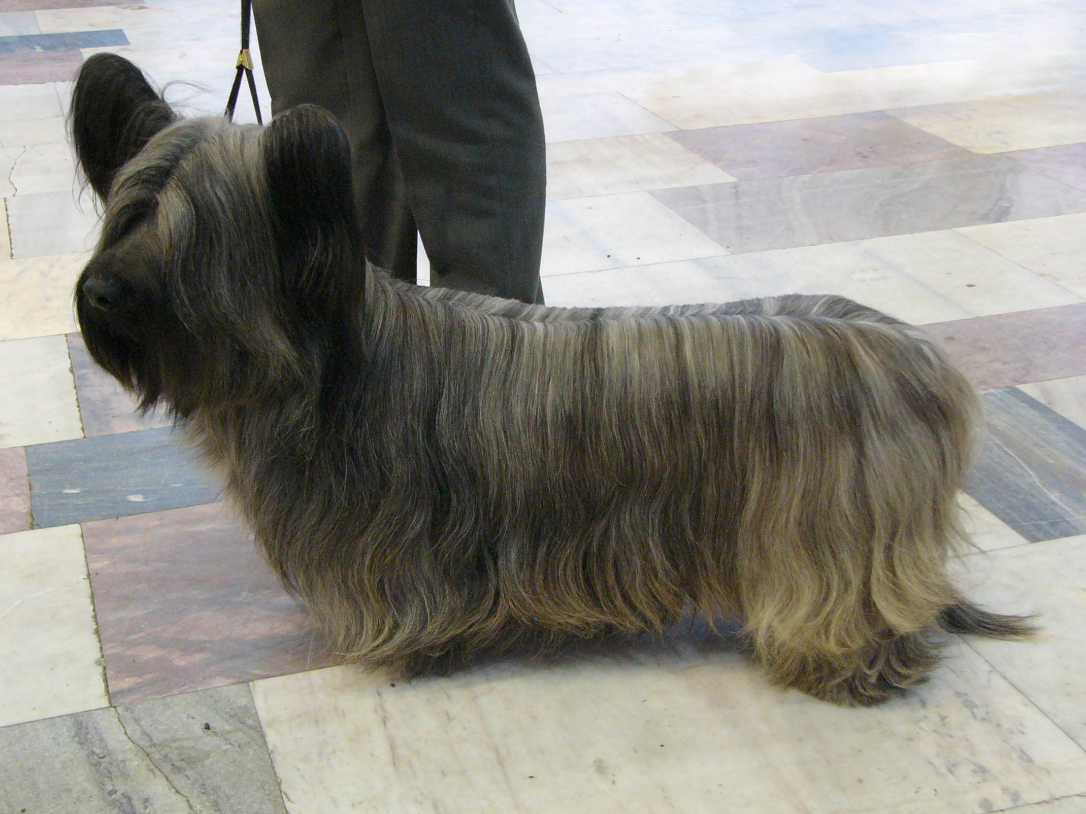 Skye Terrier Dog Show