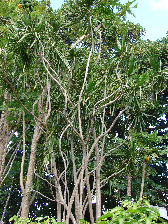 Dracaena marginata for Plante dracaena