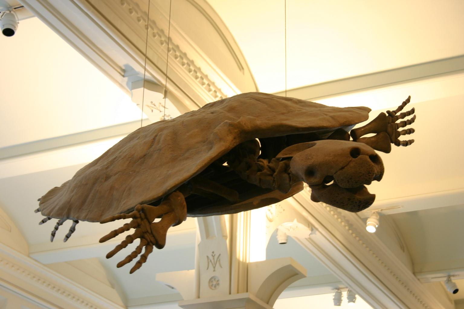 Skelettrekonstruktion von Stupendemys geographicus am AMNH