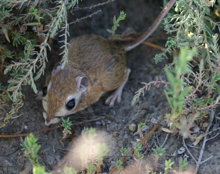 Adult Tipton kangaroo rats Kangaroo Rat Eating