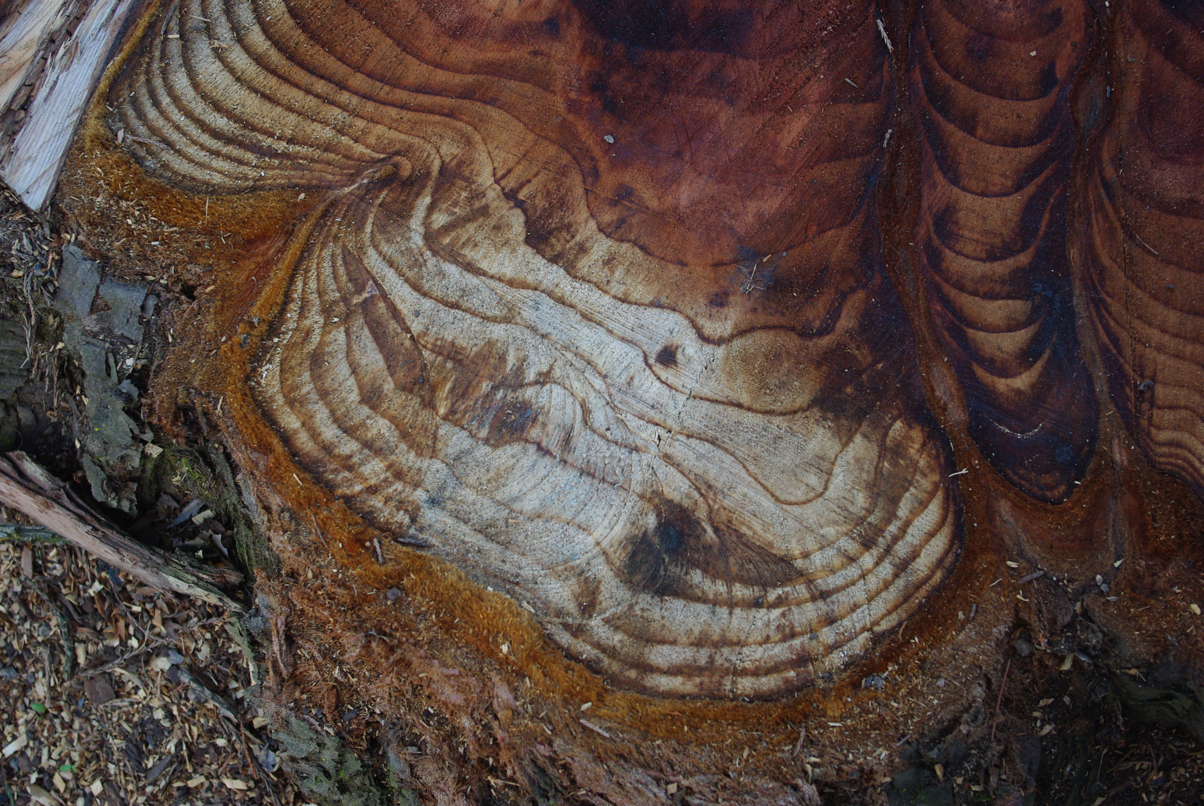 tree ring dating wikipedia Dendrochronology is the formal term for tree-ring dating, the science that uses the growth rings of trees as a detailed record of climatic change in a region, as well as a way to approximate.