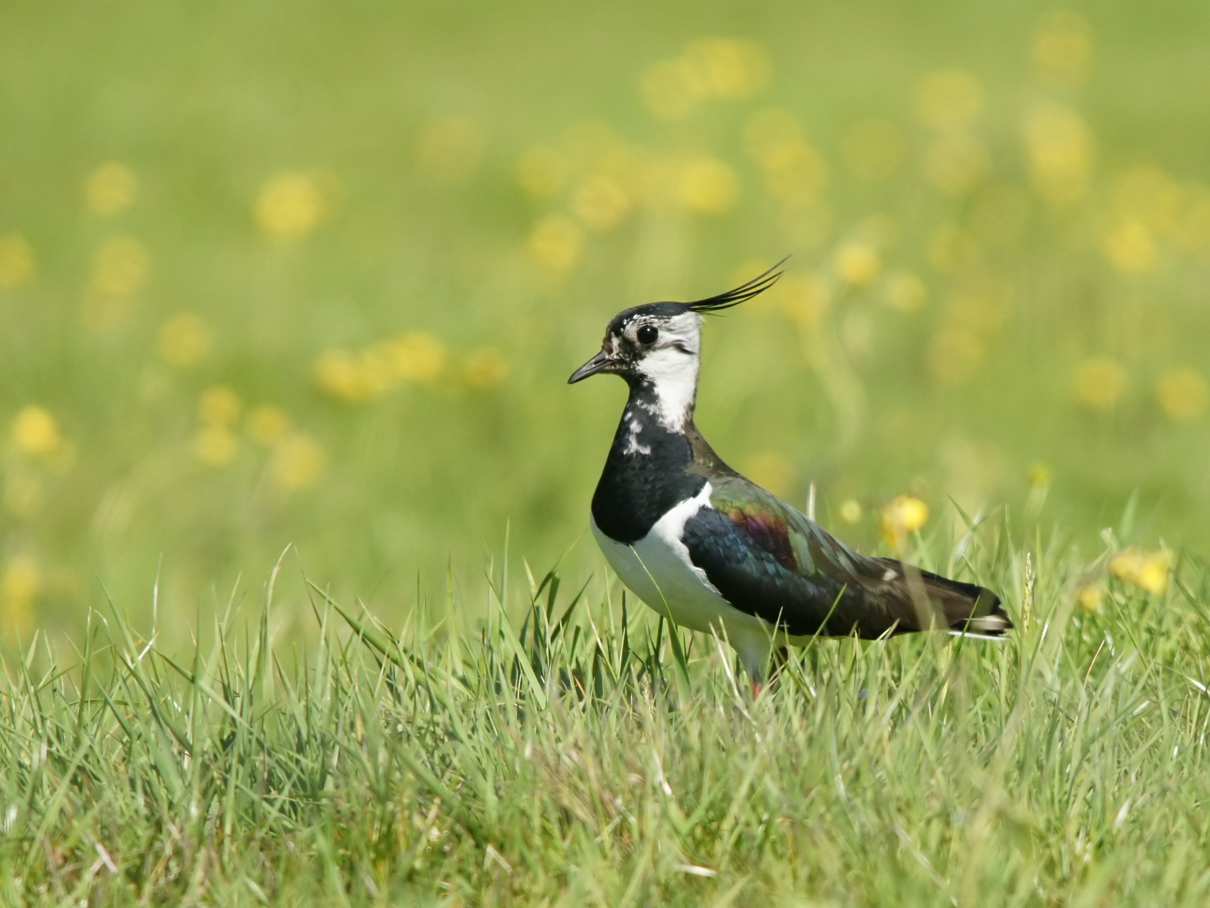Loss of farmland birds provokes action from BirdLife Partners