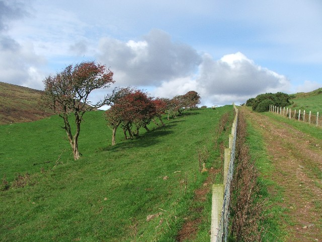 Wind Swept Trees at Carskiey. - geograph.org.uk - 255753