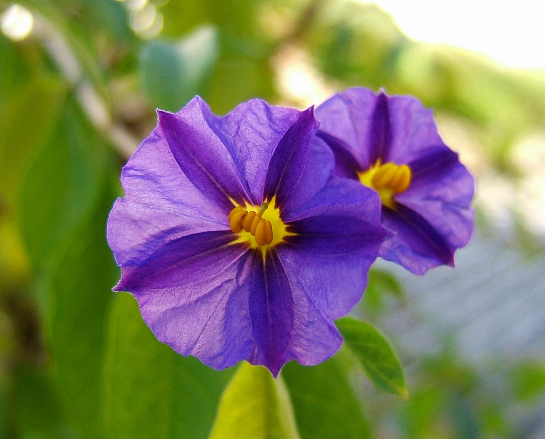 detail d'une fleur de lycianthes rantonnei
