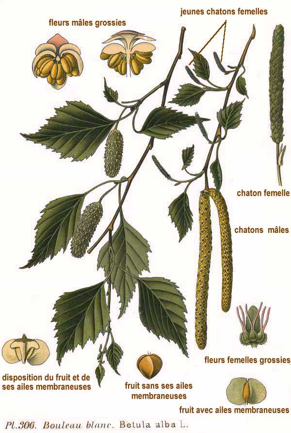 File:306 Betula alba L.jpg - Wikipedia