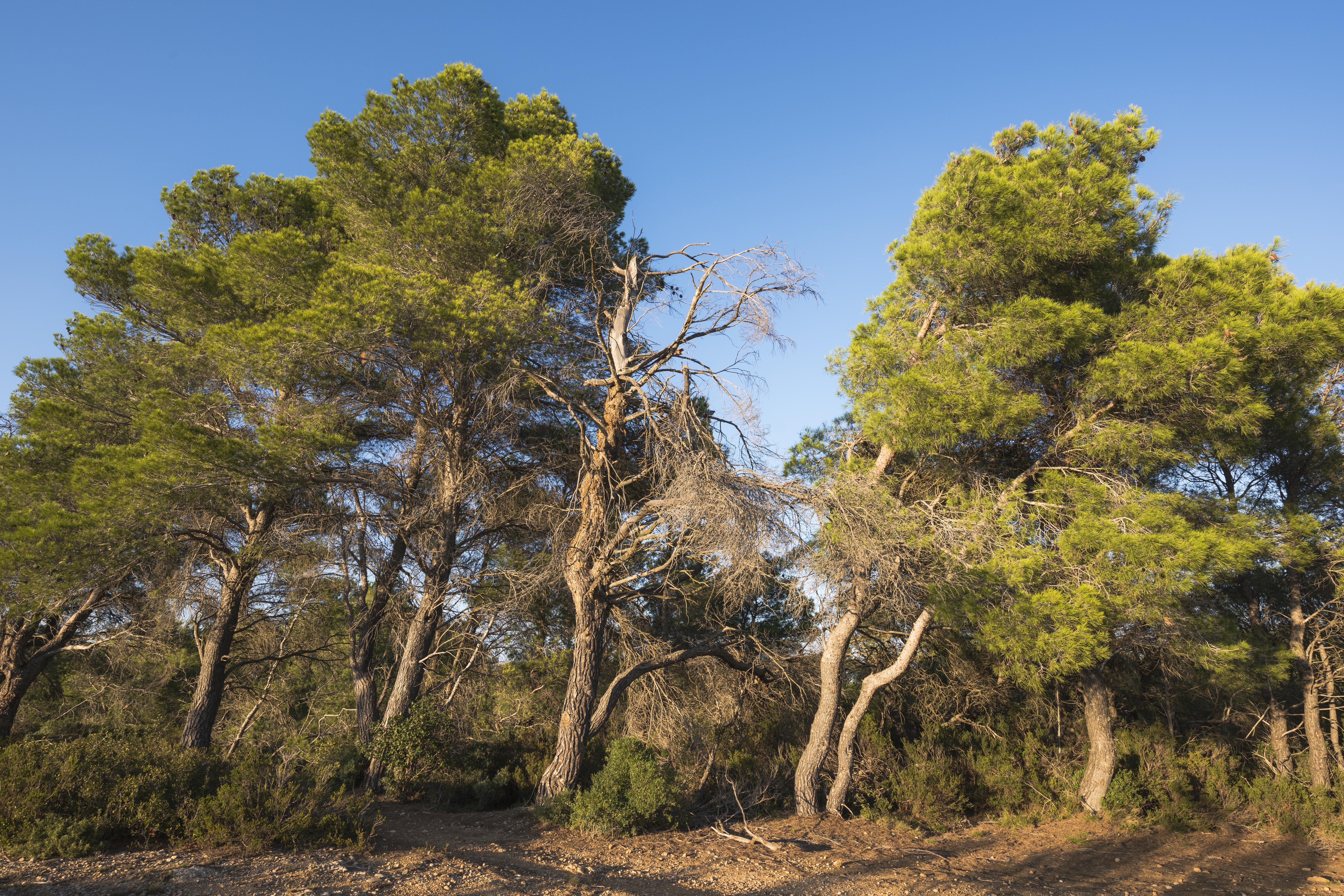 Français : Un bosquet de Pins d'Alep (Pinus halepensis). Les arbres penchent car il y a dans la région un vent fort et souvent omniptrésent qui vient du nord-ouest