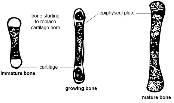Anatomy and physiology of animals Growing bone.jpg
