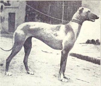 [Image: Arabian_Greyhound_from_1915.JPG]