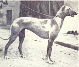 О борзых в целом    - Страница 3 Arabian_Greyhound_from_1915