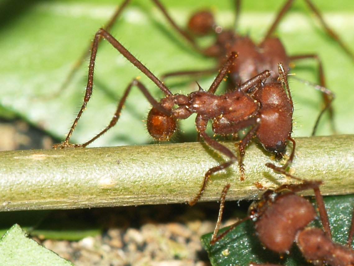 Army Ants as Sutures