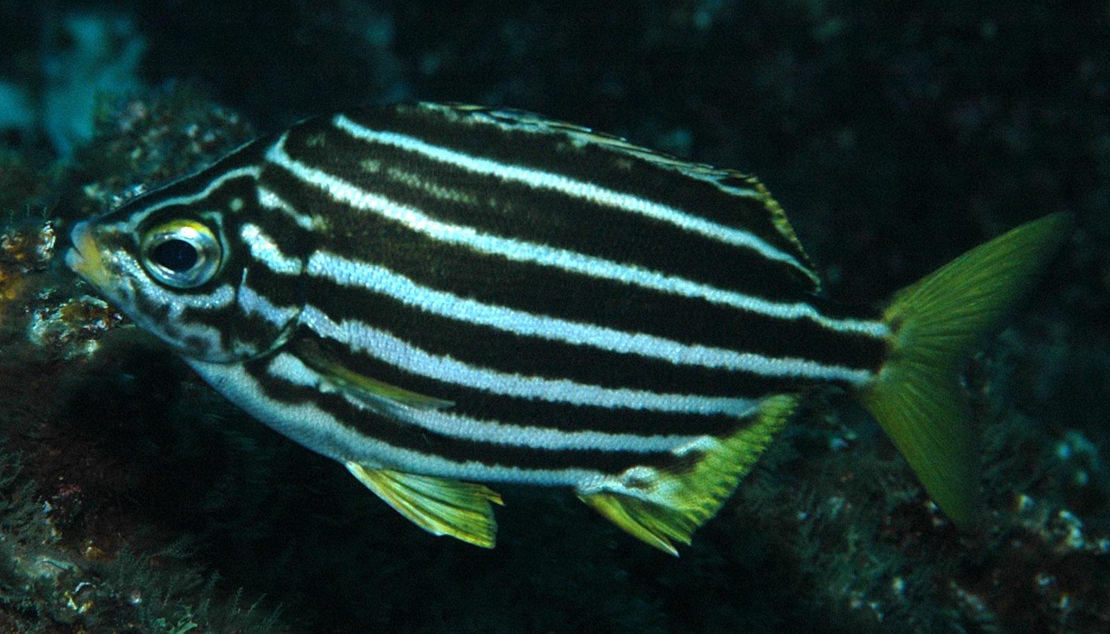 Microcanthinae - Wikipedia
