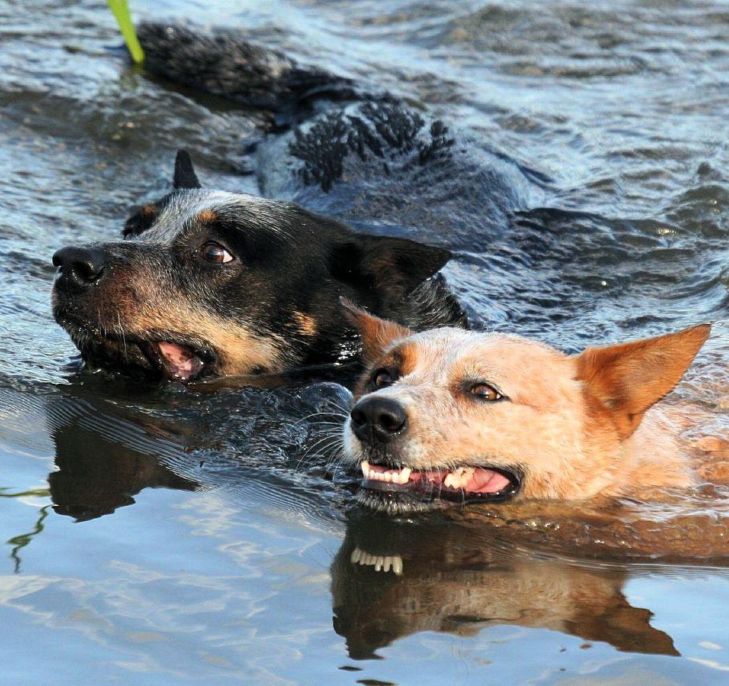 file australian cattle dogs swimming jpg