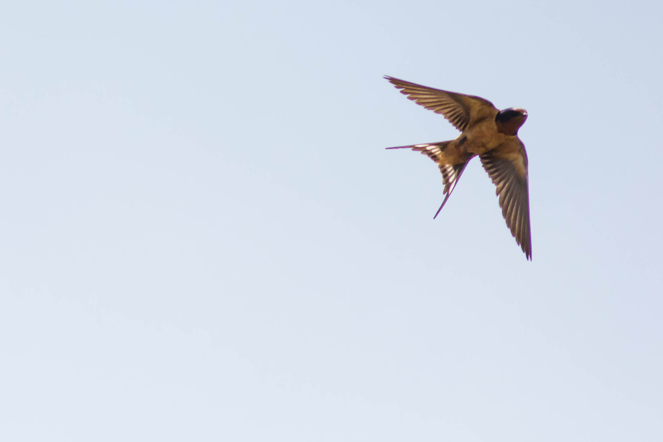 Barn_swallow_%2819859085062%29.jpg