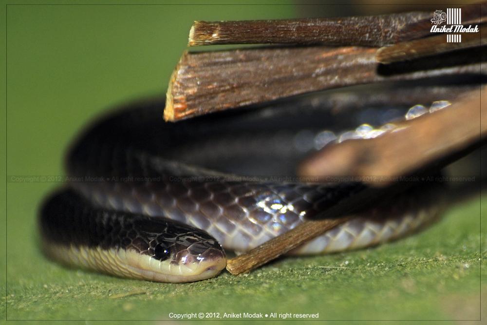 Bungarus niger image