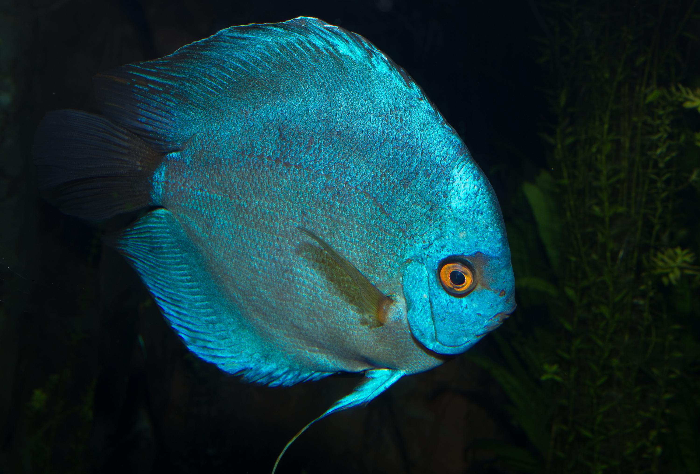 Discus fish blue blue discus fish aqua pets for Blue fish aquarium